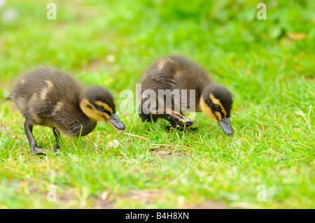 Close-up of two Mallard (Anas platyrhynchos) ducklings foraging in field - Stock Photo