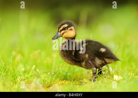 Close-up of Mallard (Anas platyrhynchos) duckling in field - Stock Photo