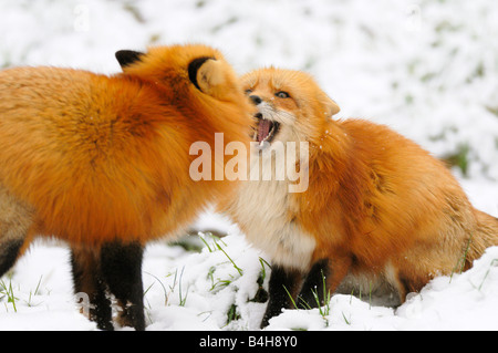 Close-up of two Red Foxes (Vulpes vulpes) fighting in snow - Stock Photo