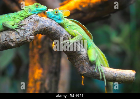 Close-up of two Plumed Basilisk (Basiliscus plumifrons) lizards on branch - Stock Photo