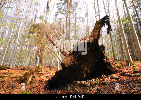 Disrooted Norway Spruce (Picea abies) tree in forest - Stock Photo
