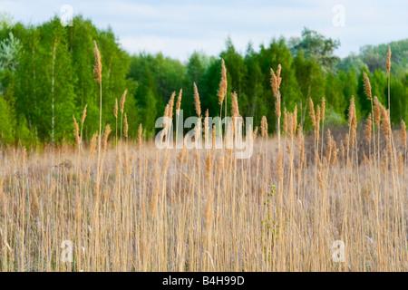 Reeds in field, Nationalpark Donau-Auen, Lobau, Vienna, Austria Stock Photo