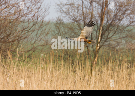 Western Marsh Harrier (Circus aeruginosus) in flight - Stock Photo