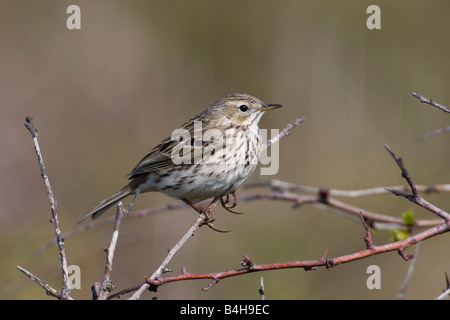 Close-up of Meadow Pipit (Anthus pratensis) perching on branch - Stock Photo