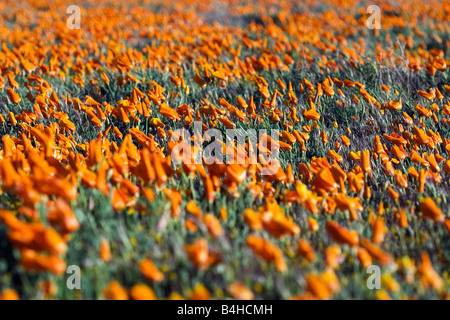 California poppies (Eschscholzia californica) in the Antelope Valley Poppy Reserve in the Mojave Desert in California. - Stock Photo