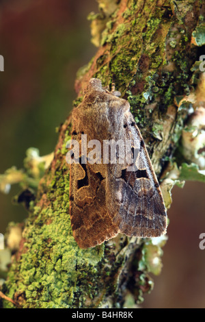 Hebrew Character moth (Orthosia gothica). Powys, Wales. - Stock Photo