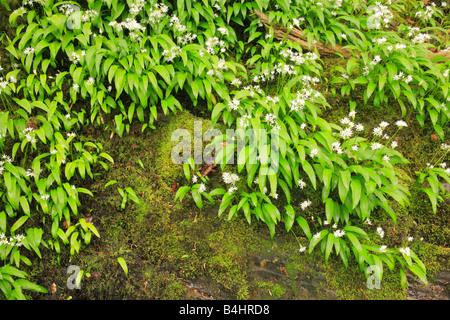 Flowers of Ramsons or Wild Garlic (Allium ursinum) growing over rocks beside a river. Powys, Wales, UK. - Stock Photo