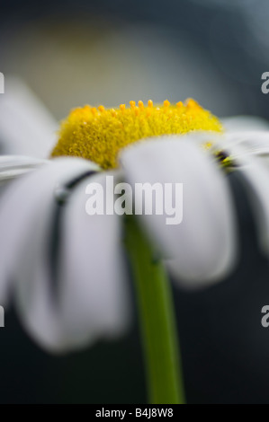Ox eye daisy Leucanthemum vulgare Compositae: Black-eyed Susan; Yellow or Daisy; Stock Photo