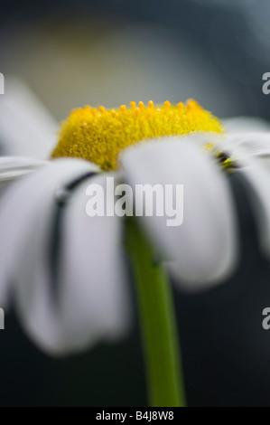 Ox eye daisy Leucanthemum vulgare Compositae: Black-eyed Susan; Yellow or Daisy; - Stock Photo