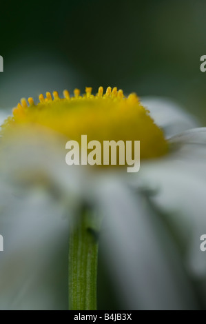 Ox eye daisy Leucanthemum vulgare Compositae: Black-eyed Susan; Yellow or Daisy; Stock Photo
