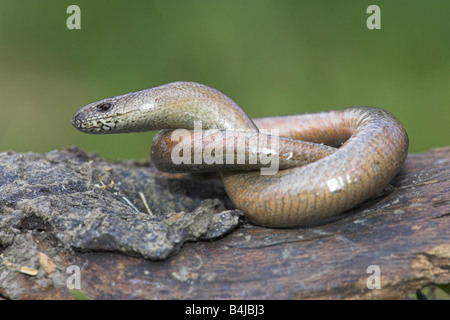 Slow Worm Anguis fragilis coiled up on log in Weston-Super-Mare, Somerset in June (controlled conditions). - Stock Photo