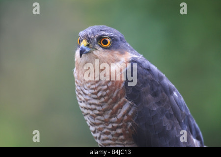 Wild Male Sparrowhawk Accipter nisus Close Up United Kingdom - Stock Photo
