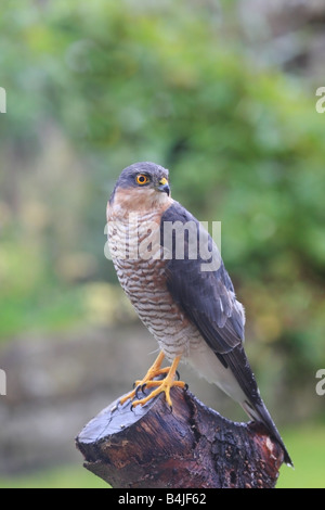 Male Sparrowhawk Accipter nisus in Garden Environment - Stock Photo