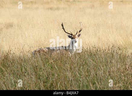 European Fallow Deer, Dama dama - Stock Photo