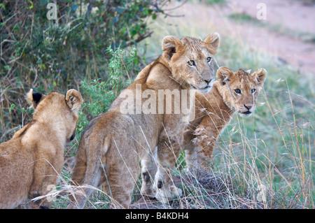 Lion cubs in Masai Mara, Kenya, East Africa - Stock Photo