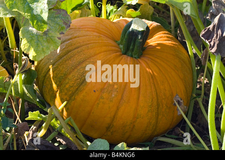 Pumpkin in garden Eastern USA - Stock Photo