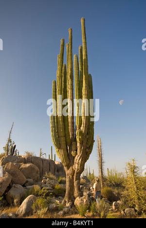 Man looking at cardon cactus, Desierto Central near Catavina in Baja California Mexico - Stock Photo