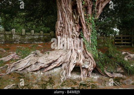 Ancient Yew tree, Herefordshire, England, UK - Stock Photo