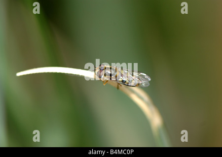 A drone fly sitting on a blade of grass - Stock Photo
