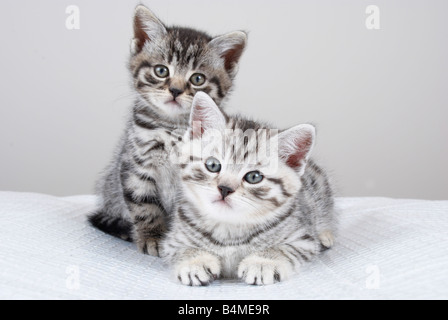 2 British Shorthair Kittens - Stock Photo