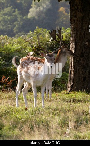 European Fallow Deer, Dama dama - Stock Photo