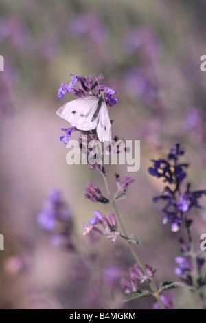 Purple Haze, butterfly on lavender - Stock Photo