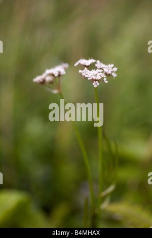 parsley water dropwort Oenanthe lachenalii - Stock Photo