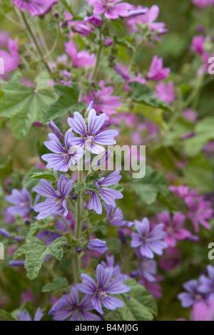 common mallow Malva sylvestris blue form - Stock Photo