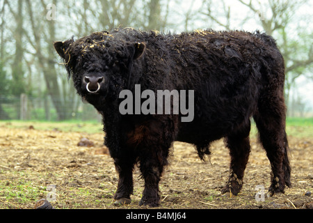 Domestic cattle, breed: Galloway (Bos taurus, Bos primigenius), bull on a pasture - Stock Photo