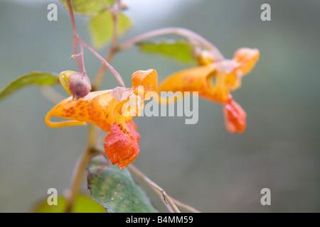 orange balsam Impatiens capensis