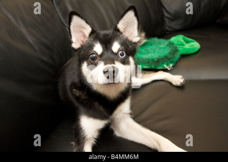 Alaskan Klee Kai laying on a black leather couch - Stock Photo