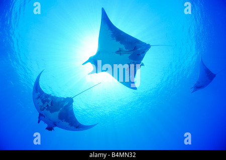Devil ray, Devil fish, Manta, Mobula tarapacana - Stock Photo