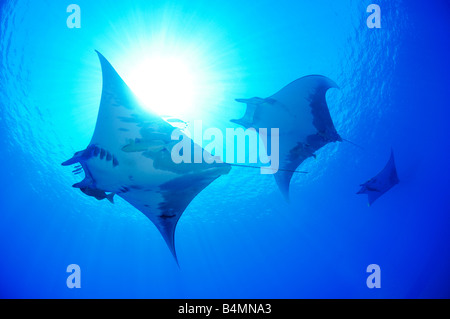 Devil ray Devil fish Manta Mobula tarapacana, Azores - Stock Photo