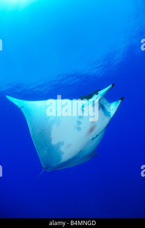Devil ray Devil fish Manta ray Mobula tarapacana, Azores - Stock Photo