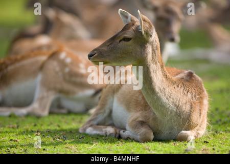Fallow Deer - Dama dama - Stock Photo