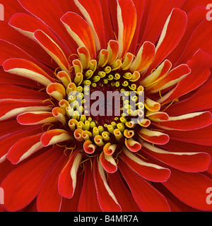Centre of a bright red zinnia in full bloom - Stock Photo