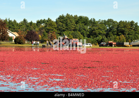 Wet harvesting ripe red cranberries from bog in Plymouth County, USA - Stock Photo