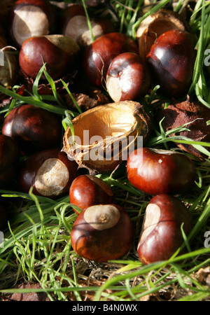 Conkers, the Fruit of the Horse Chestnut Tree, Aesculus hippocastanum - Stock Photo