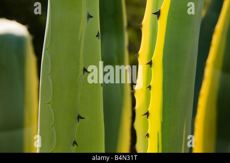 Leaves of Agave plant on Porto Santo the neighbouring island to Madeira - Stock Photo