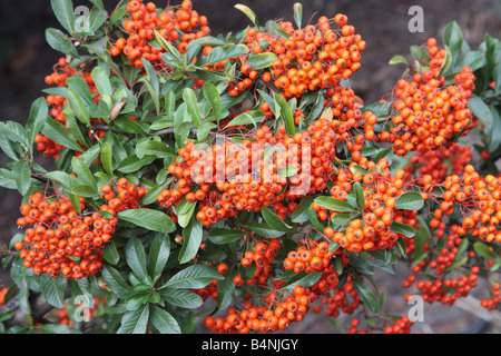Firethorn berries.Pyracantha. - Stock Photo