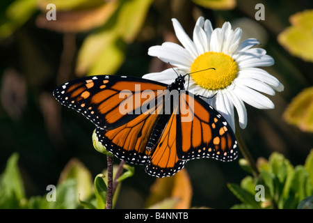 Monarch Butterfly feeding on a daisy - Stock Photo