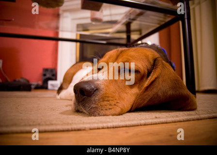 A cute beagle puppy sleeping on the floor in the living room - Stock Photo