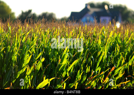 Illinois cornfield and farm house in late summer before harvest - Stock Photo