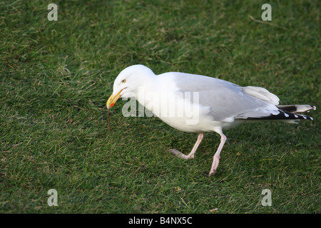 HERRING GULL Larus argentatus PULLING WORM FROM LAWN NORTH WALES FEB 08 - Stock Photo