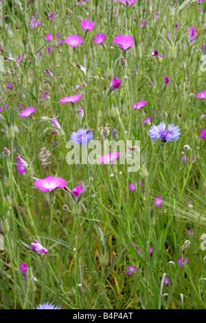 A Summer Grass Meadow with Cornflowers Centaurea cyanus Asteraceae and Corn Cockles Agrostemma githago Caryophyllaceae - Stock Photo