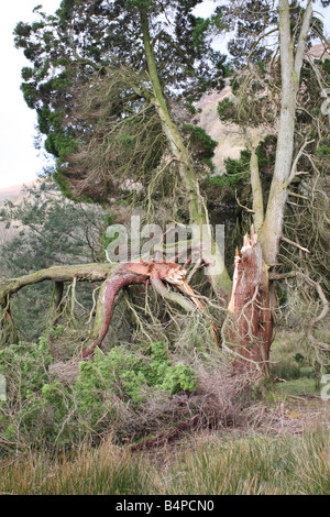 STORM DAMAGE TO CONIFER TREE CADER IDRIS WALES - Stock Photo