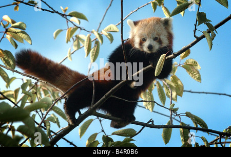 Escaped pandas from Birmingham Nature Centre. Tensing the red panda who is looking for his brother called Babu who - Stock Photo