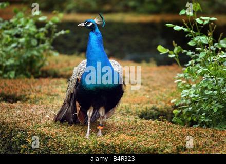 Peacock in the garden - Stock Photo