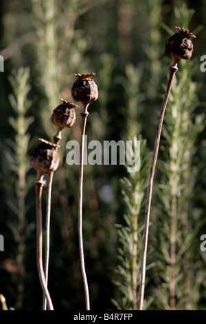 'poppy seed heads' - Stock Photo