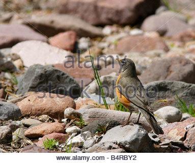 American Robin Turdus migratorius standing rock - Stock Photo